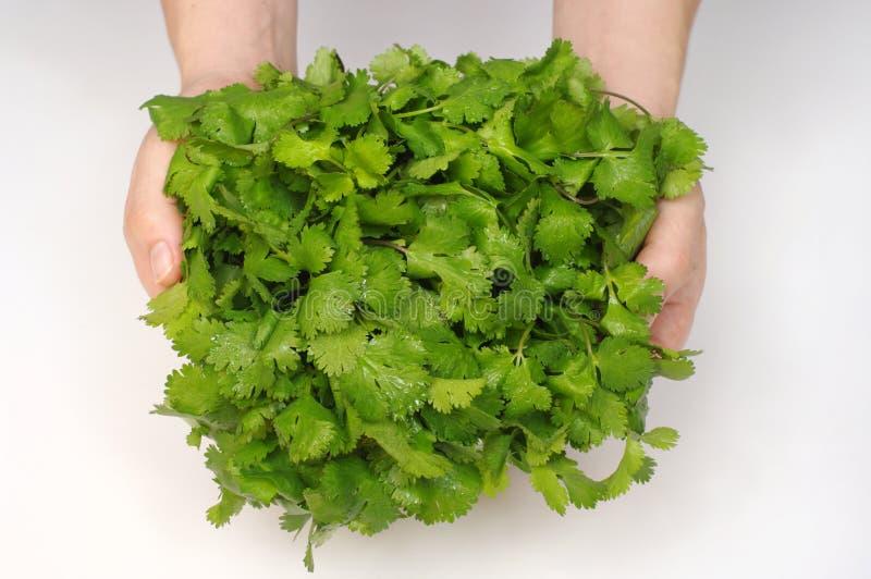 Grupo do cilantro foto de stock