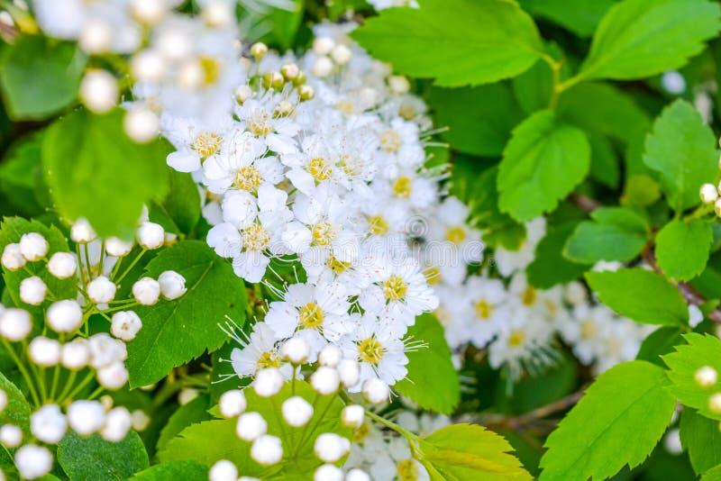 Grupo do close-up das flores brancas de jardim fotos de stock