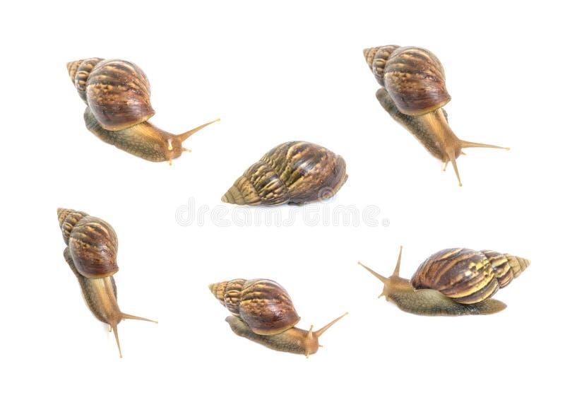 Grupo do close up de caracol nos muitos ato isolado no fundo branco fotos de stock