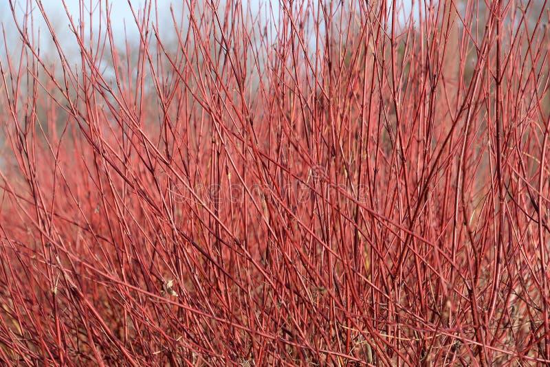 Grupo do corniso de vimeiro vermelho no inverno fotografia de stock royalty free