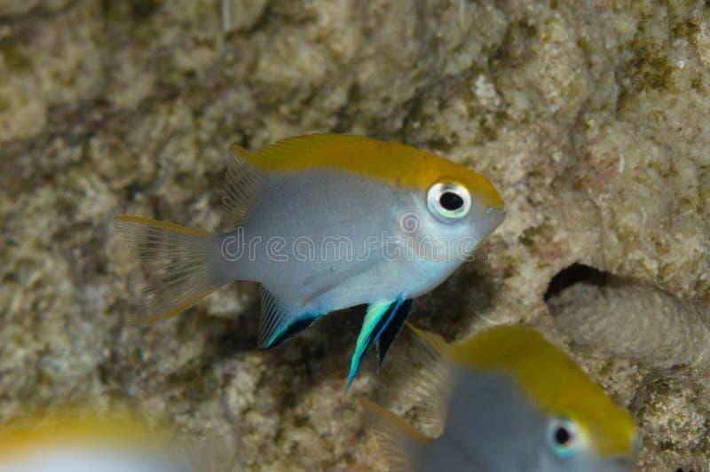 Grupo do Damselfish do Bluefin fotografia de stock