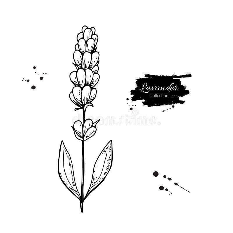 Grupo do desenho do vetor da alfazema flor selvagem e folhas Ilustração gravada erval do estilo ilustração stock