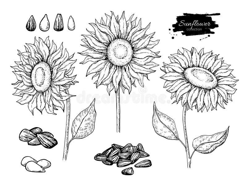 Grupo do desenho do vetor da semente e da flor de girassol Ilustração isolada tirada mão Esboço do ingrediente de alimento ilustração do vetor