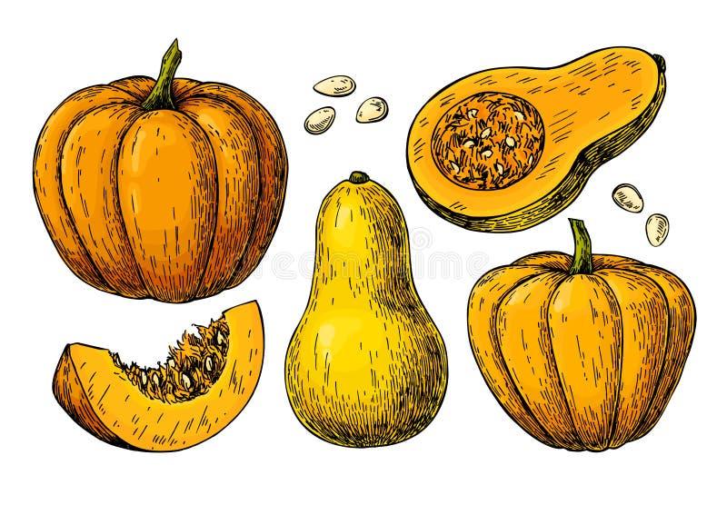 Grupo do desenho do vetor da polpa da abóbora e de butternut ilustração stock
