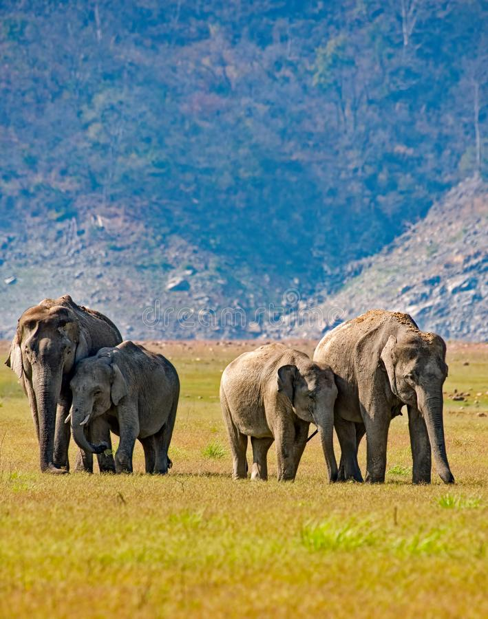 Grupo do elefante imagem de stock royalty free