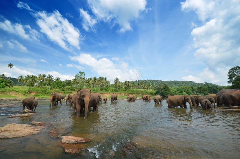 Grupo do elefante no rio imagem de stock royalty free