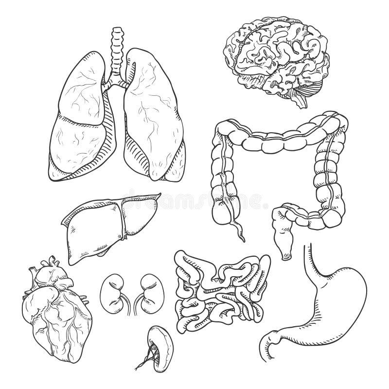 Grupo do esboço do vetor de órgãos humanos anatômicos ilustração stock