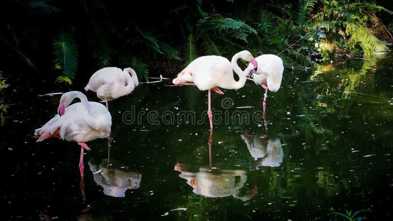 Grupo do flamingo foto de stock royalty free
