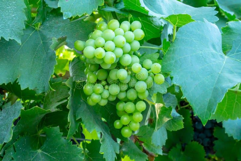 Grupo do fruto maduro verde fresco novo da uva nas folhas verdes sob a luz solar macia no vinhedo na estação da colheita, viticul fotografia de stock