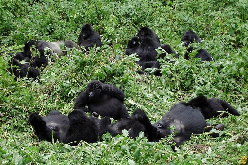 Grupo do gorila fotografia de stock