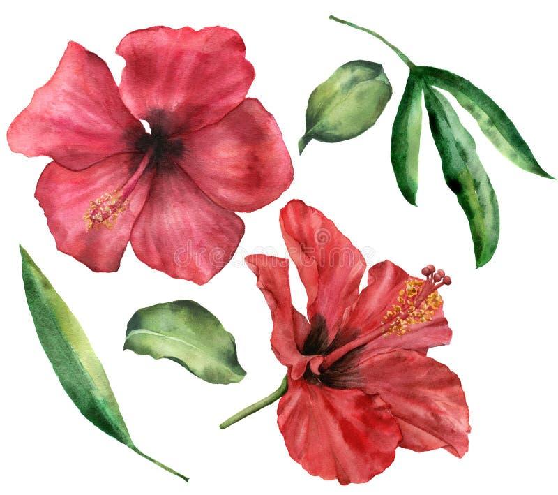 Grupo do hibiscus da aquarela Flores vermelhas pintados à mão e folhas das hortaliças isoladas no fundo branco Fundo floral abstr ilustração royalty free