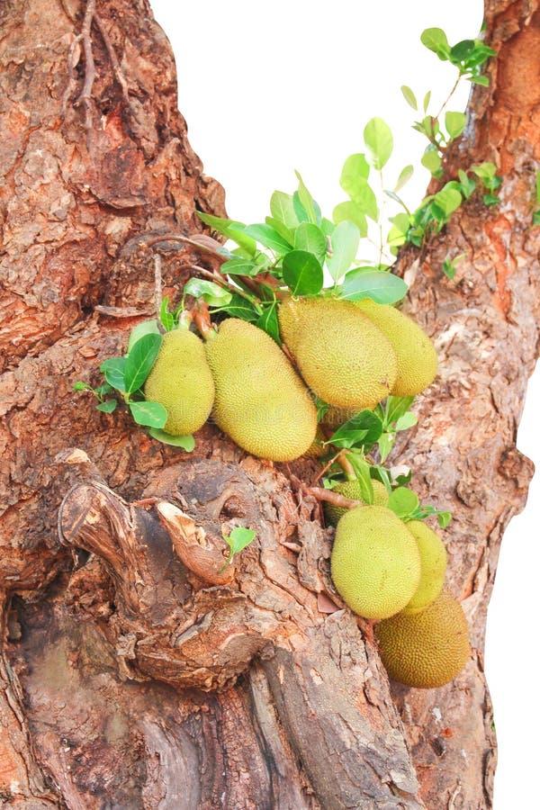 Grupo do jackfruit ou heterophyllus de artocarpus com haste e folhas crus que penduram na árvore grande velha isolada no fundo br imagem de stock royalty free