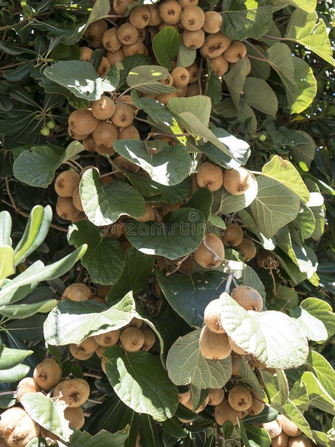 Grupo do Kiwifruit na planta com folhas verdes imagens de stock