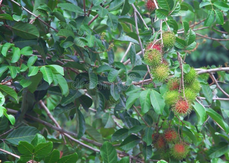 Grupo do lappaceum orgânico colorido do fruto ou do nephelium do rambutan que pendura no fundo da árvore da natureza fotos de stock