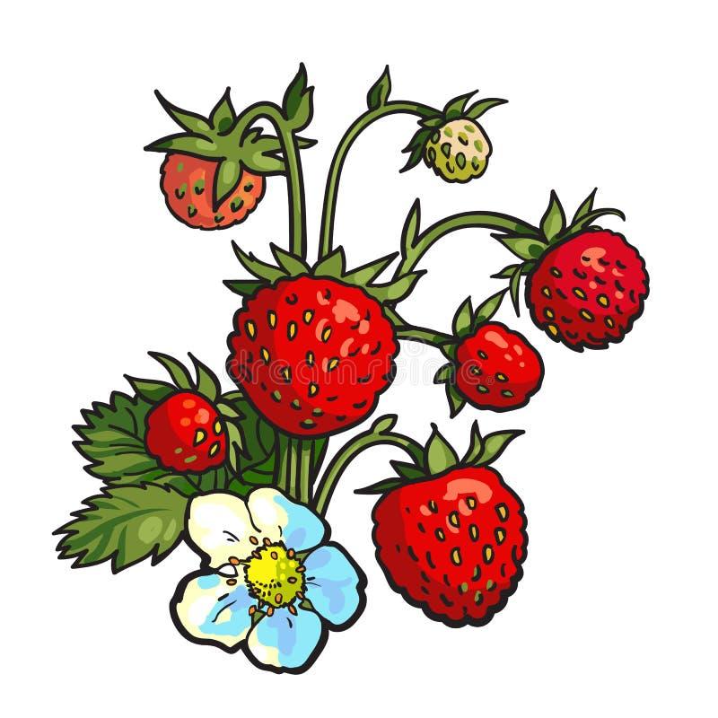 Grupo do morango silvestre, desenho realístico do vetor ilustração stock