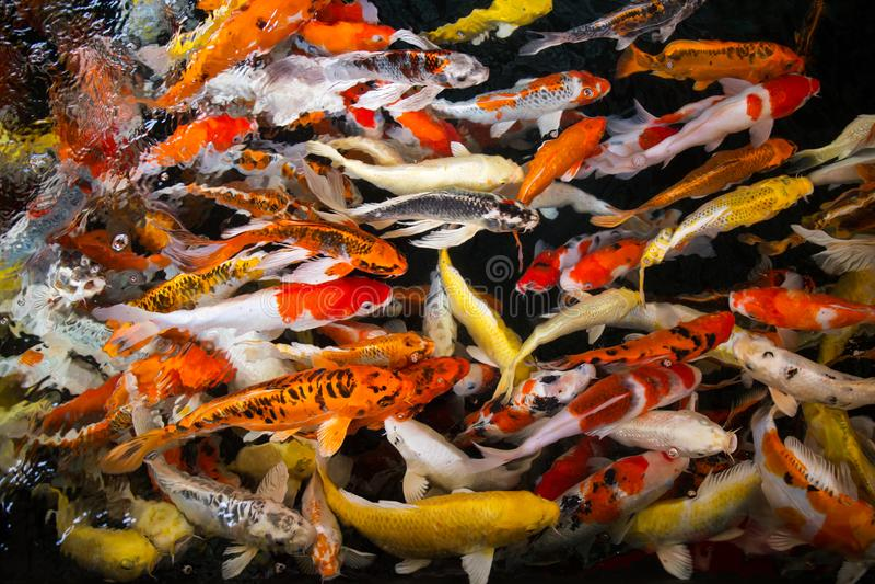 Grupo do movimento de peixes novos coloridos do koi no aquariu claro da água imagens de stock royalty free