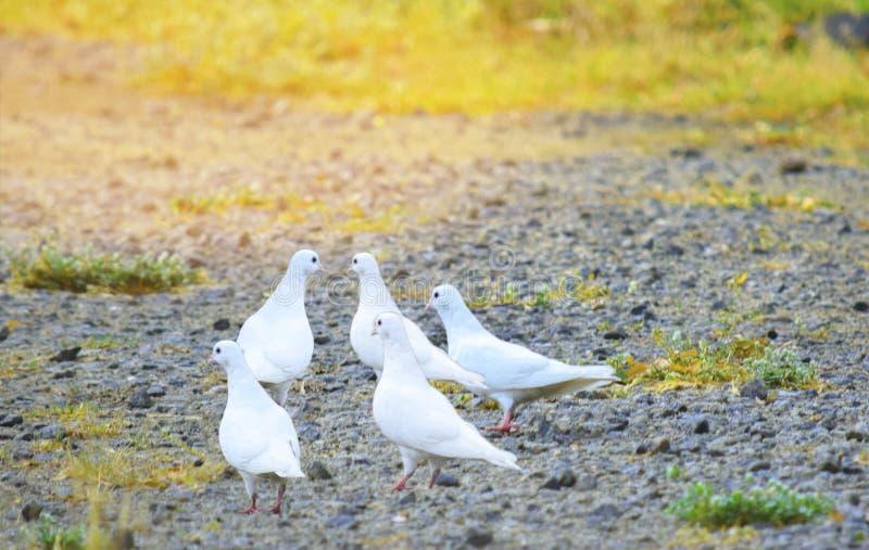 Grupo do pombo branco imagem de stock