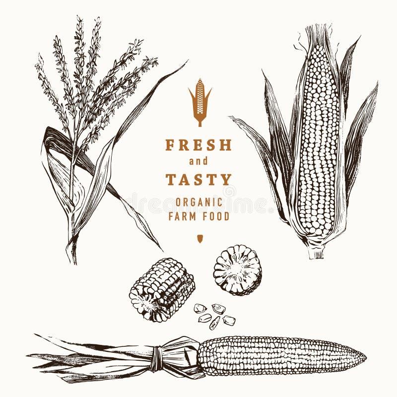 Grupo do projeto do vintage da espiga de milho ilustração do vetor