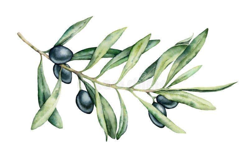Grupo do ramo de oliveira do preto da aquarela Ilustração floral pintado à mão com fruto e ramos de árvore verde-oliva com folhas ilustração royalty free
