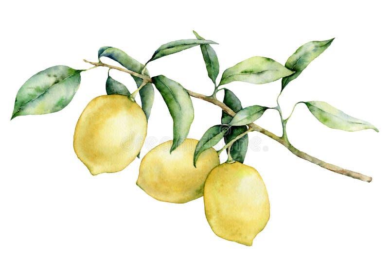Grupo do ramo do limão da aquarela Fruto pintado à mão do limão no ramo isolado no fundo branco Elegante floral ilustração stock