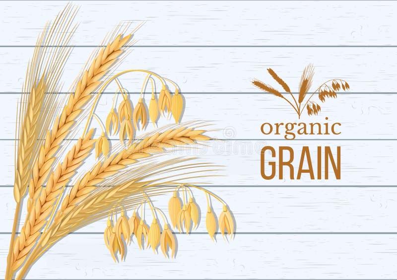 Grupo do trigo, da cevada, da aveia e do centeio Quatro spikelets dos cereais com alimentos superiores das orelhas, da polia e do ilustração royalty free