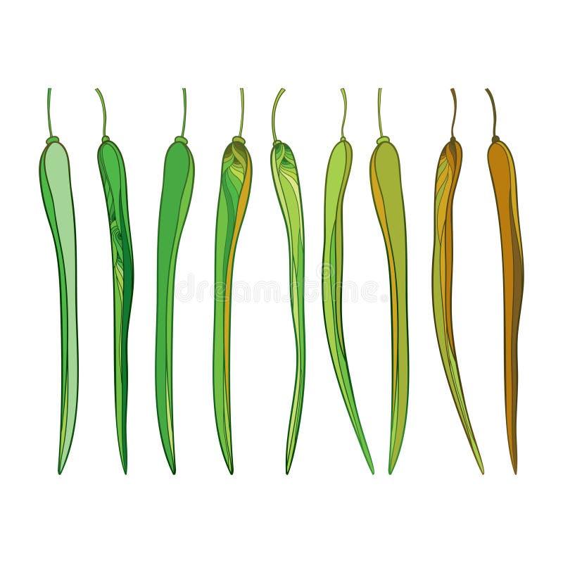 Grupo do vetor com as vagens ornamentado da moringa oleifera ou do pilão ou do armorácio do esboço no verde e no marrom isoladas  ilustração stock