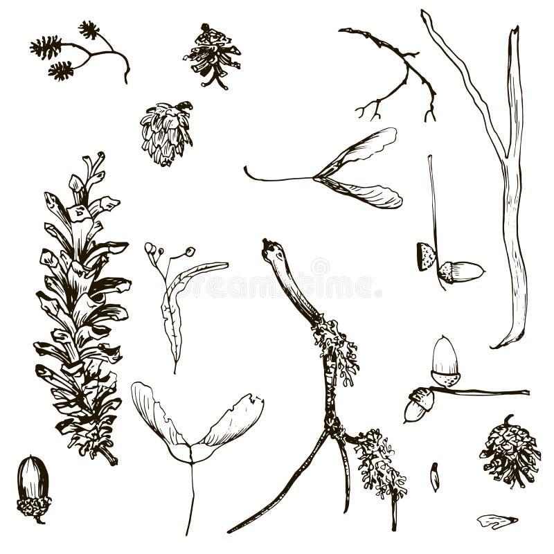 Grupo do vetor de galhos, de cones do pinho, de sementes e de bolotas ilustração royalty free