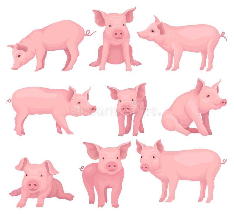 Grupo do vetor de porcos em poses diferentes Animal de exploração agrícola bonito com pele cor-de-rosa, o focinho liso, os cascos ilustração stock
