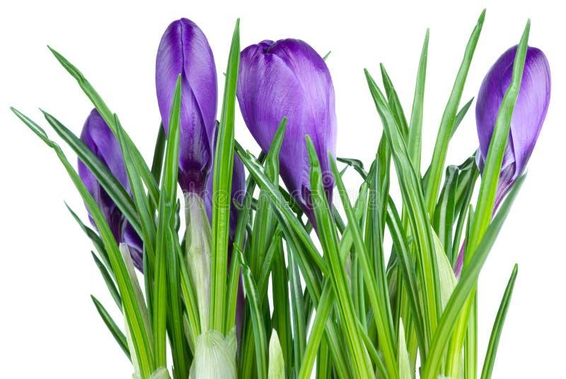 Grupo dos açafrões violetas foto de stock