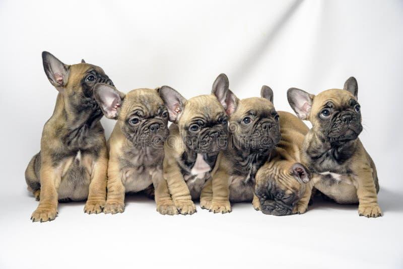 Grupo dos cachorrinhos 6 do buldogue francês fotos de stock