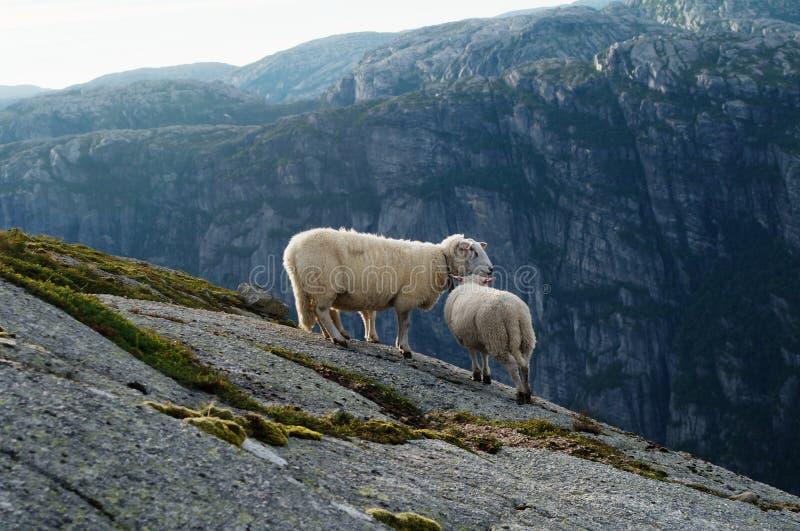 Grupo dos carneiros brancos fotografia de stock royalty free