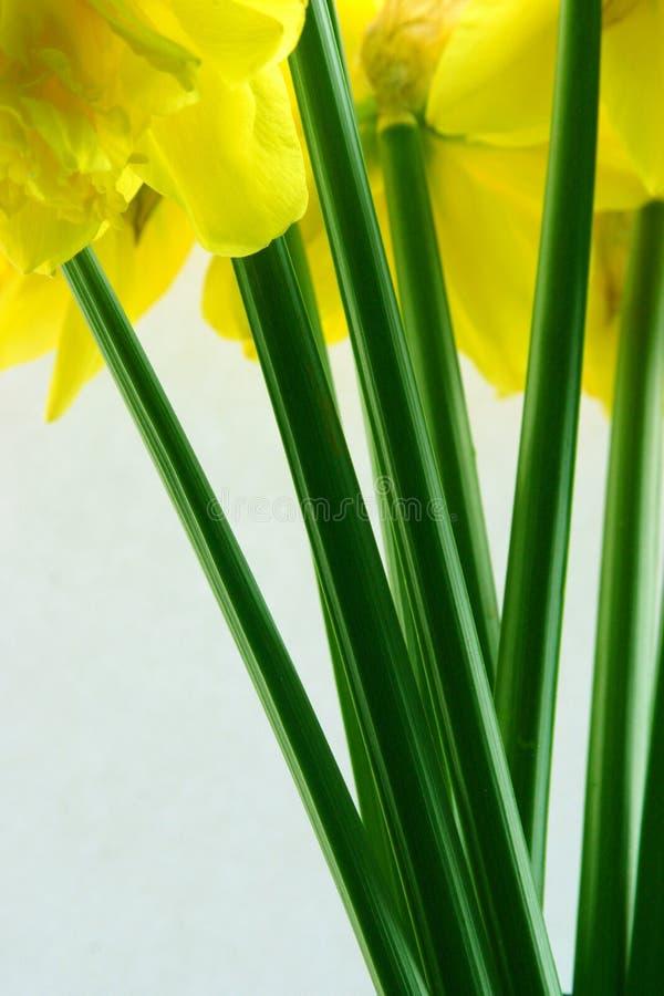 Grupo dos Daffodils imagens de stock royalty free