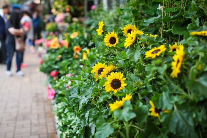 Grupo dos girassóis amarelos frescos prontos para a venda no mercado do fazendeiro da flor imagens de stock royalty free