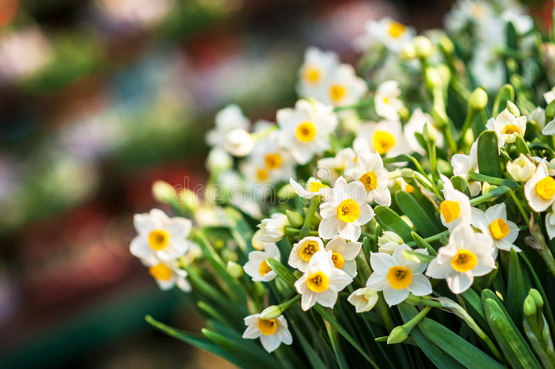 Grupo dos narcisos amarelos brancos em um mercado da flor da mola foto de stock royalty free