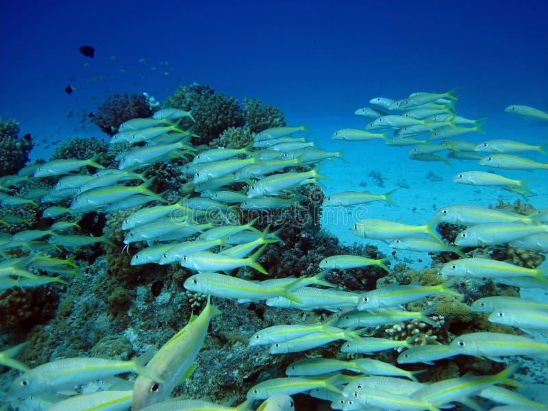 Grupo dos peixes corais no Mar Vermelho. Egipto. fotografia de stock royalty free