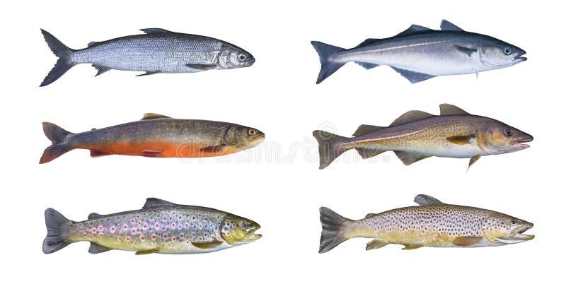 Grupo dos peixes de Noruega Peixe branco, carvão animal ártico, truta marrom do ribeiro, peixe do pollock, pescadas-pretas, escam fotografia de stock