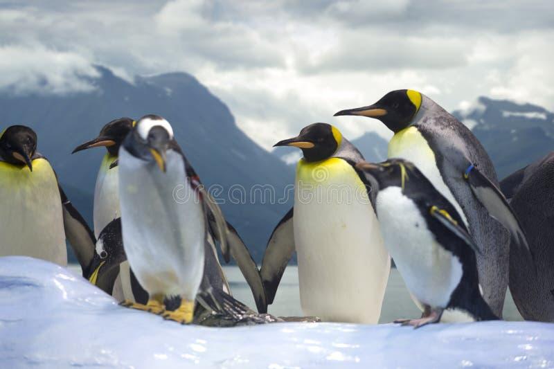 grupo dos pinguins fotos de stock royalty free