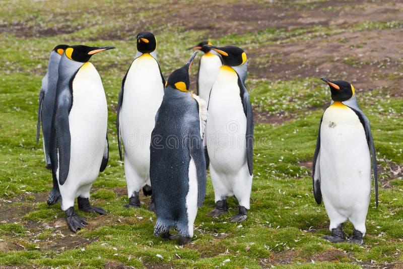 Grupo dos pinguins de rei foto de stock