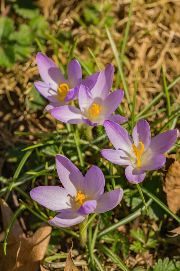 Grupo dos Wildflowers dos açafrões - primeiras flores da mola fotografia de stock