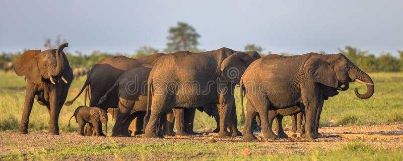 Grupo fêmea matriarcal africano da família dos elefantes (africana do Loxodonta) no sol da tarde no savana no parque nacional de  fotografia de stock royalty free