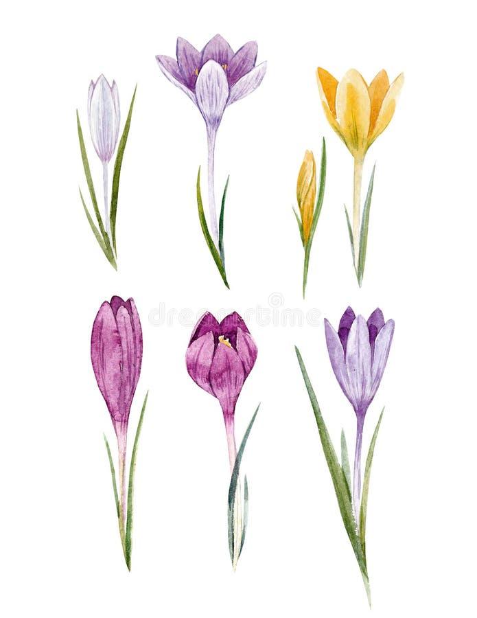 Grupo floral do açafrão da aquarela ilustração stock