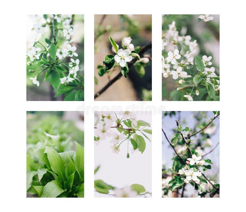 Grupo fresco da flor da árvore de cereja imagens de stock