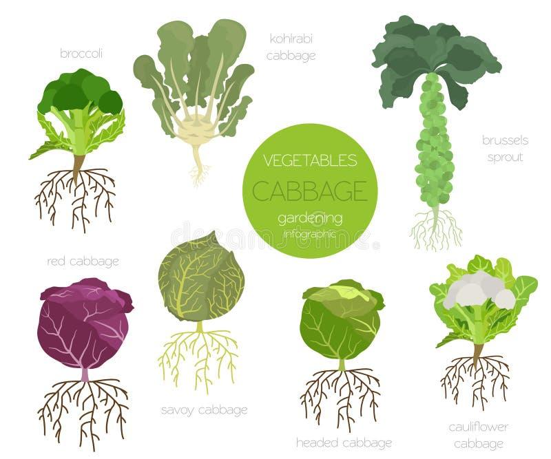 Grupo gráfico das características benéficas da couve Jardinagem, cultivo infographic, como cresce Projeto liso do estilo ilustração stock