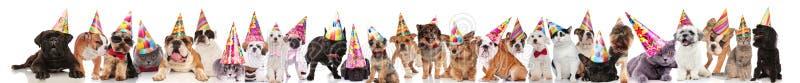 Grupo grande de animales domésticos felices que llevan los sombreros coloridos del cumpleaños fotografía de archivo libre de regalías