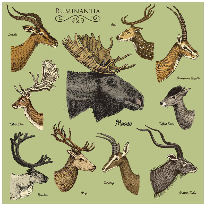 Grupo grande de chifre, animais alces dos chifres ou alces com impala, gazela e maiores kudu, rena dos gamos e veado, gama ilustração stock