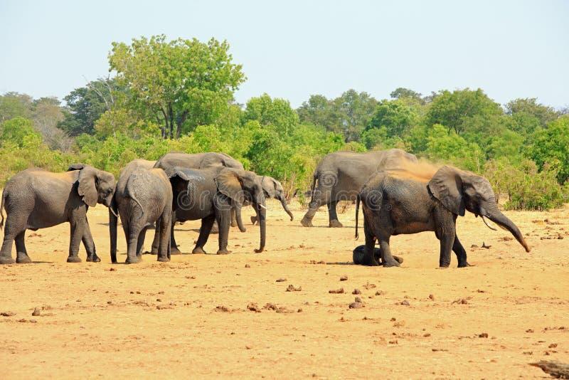 Grupo grande de elefantes que rocían el polvo sobre ellos mismos para mantener fresco imágenes de archivo libres de regalías