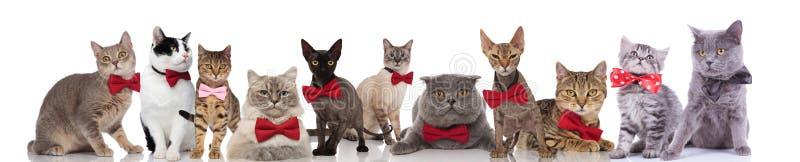Grupo grande de gatos lindos que llevan bowties coloridos foto de archivo