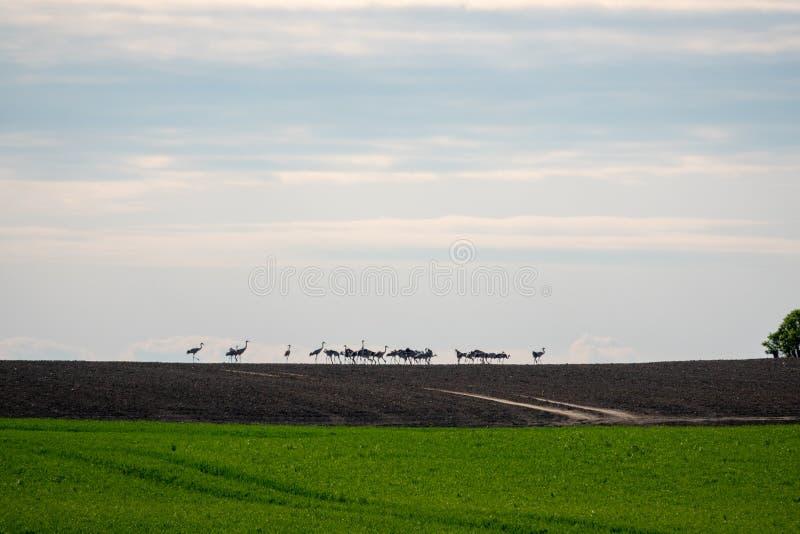 Grupo grande de grúas que se colocan en el horizonte en un campo fotos de archivo libres de regalías