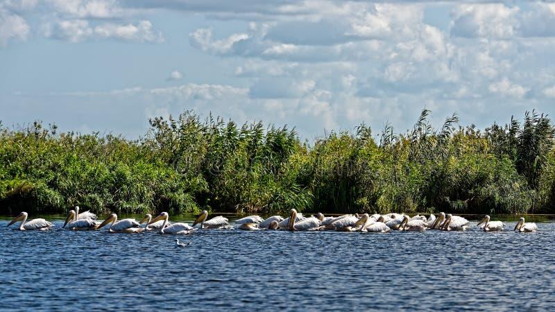 Grupo grande de pelicanos foto de stock