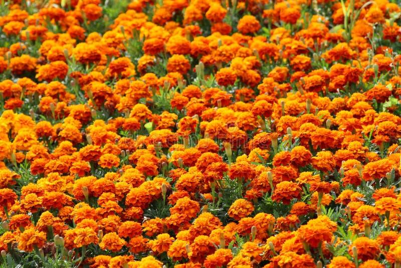 Grupo grande de tagetes anaranjados brillantes imagen de archivo libre de regalías